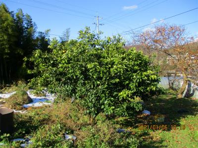 210106収穫後の八朔の木