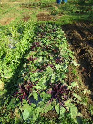 210114紅菜苔は雪害