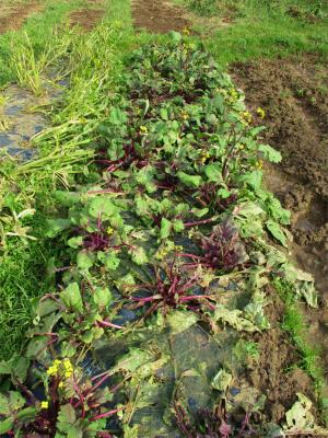 210125ちょっと復活の紅菜苔