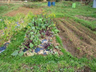 210210アスパラ菜・紅菜苔