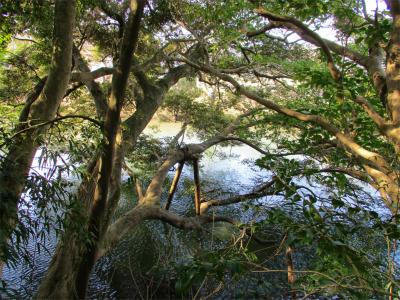210220堀に伸びる古木
