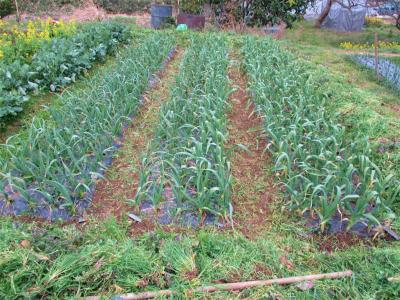 210301ニンニク畝間の草取り