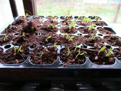 210307緑なす発芽