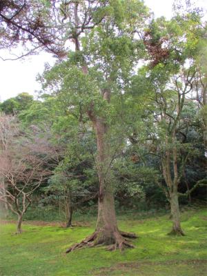210309椿谷の古木