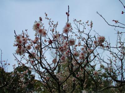 210309梅の花