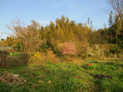 210319空き地の桜
