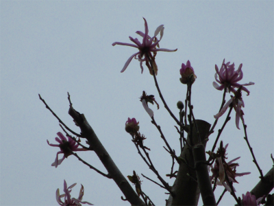 210327辛夷の花も
