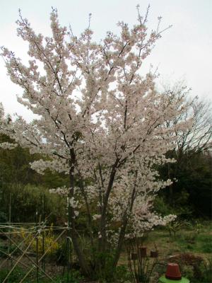 210327庭の桜は満開