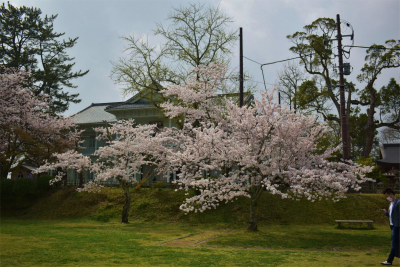 210329桜の松江城2
