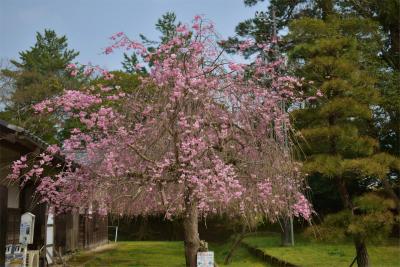 210329桜の松江城5