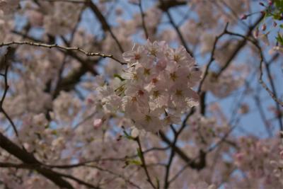210329桜の松江城7