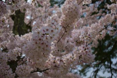 210329桜の松江城6