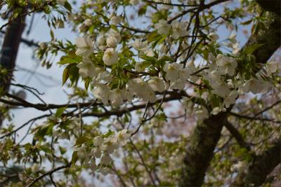 210329桜の松江城8