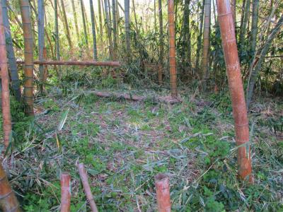 210331竹藪の中の篠竹きり