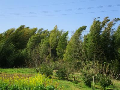 210401強風でしなる竹