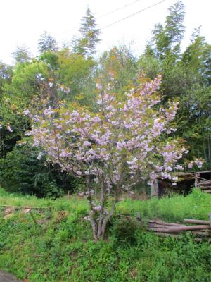 210413八重桜2