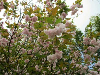 210413八重桜1