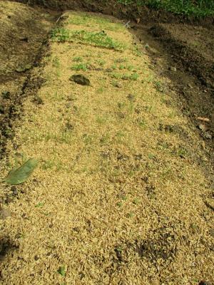 2109009極早生玉ねぎ苗は芽が出た