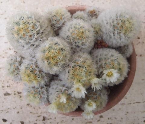Mammillaria-Carmenae-3-2021.jpg