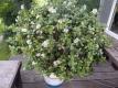 カネノナルキに花が