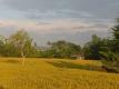 麦畑に夕日