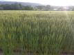 西日を受ける麦畑