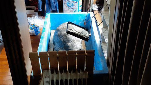 ゾウガメを外に出す (1)