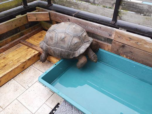 ゾウガメを外に出す (6)