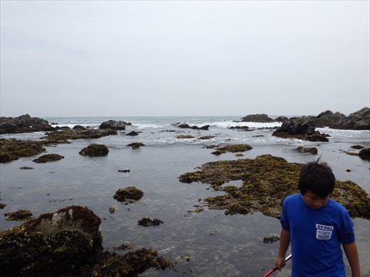 平磯海岸で磯遊び (8)