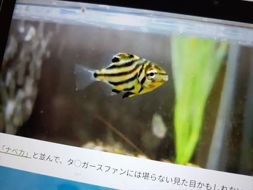 海水魚水槽立ち上げ直後 (10)