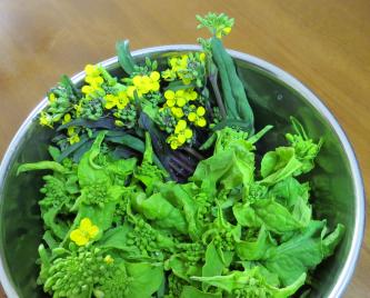 コウタイサイと菜花収穫物