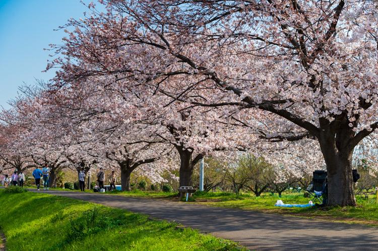 桜 並木 川 堤防 春
