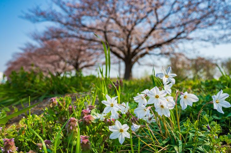 桜 ハナニラ 春 花