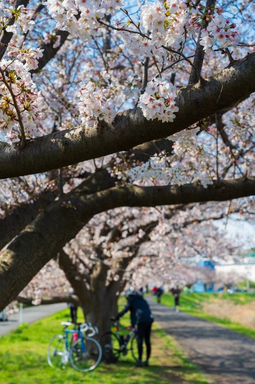 桜 並木 川 堤防 春 サイクリング
