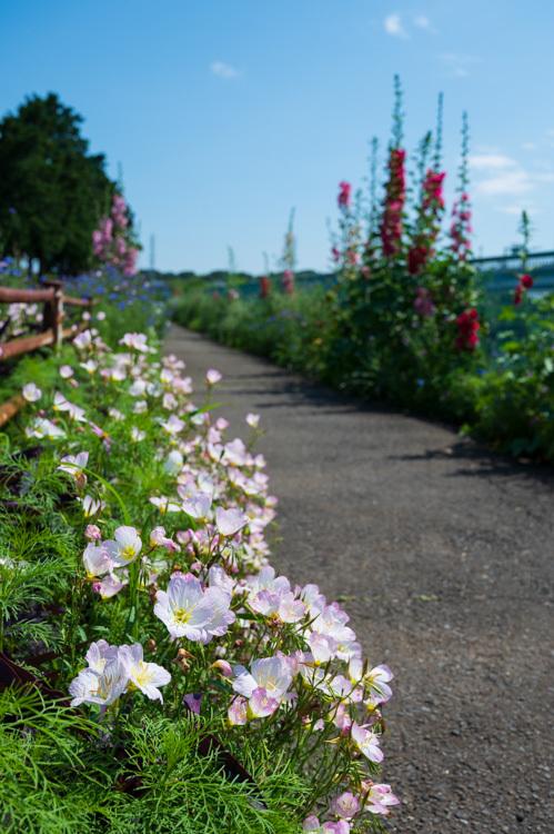 初夏 花 サイクリングロード タチアオイ