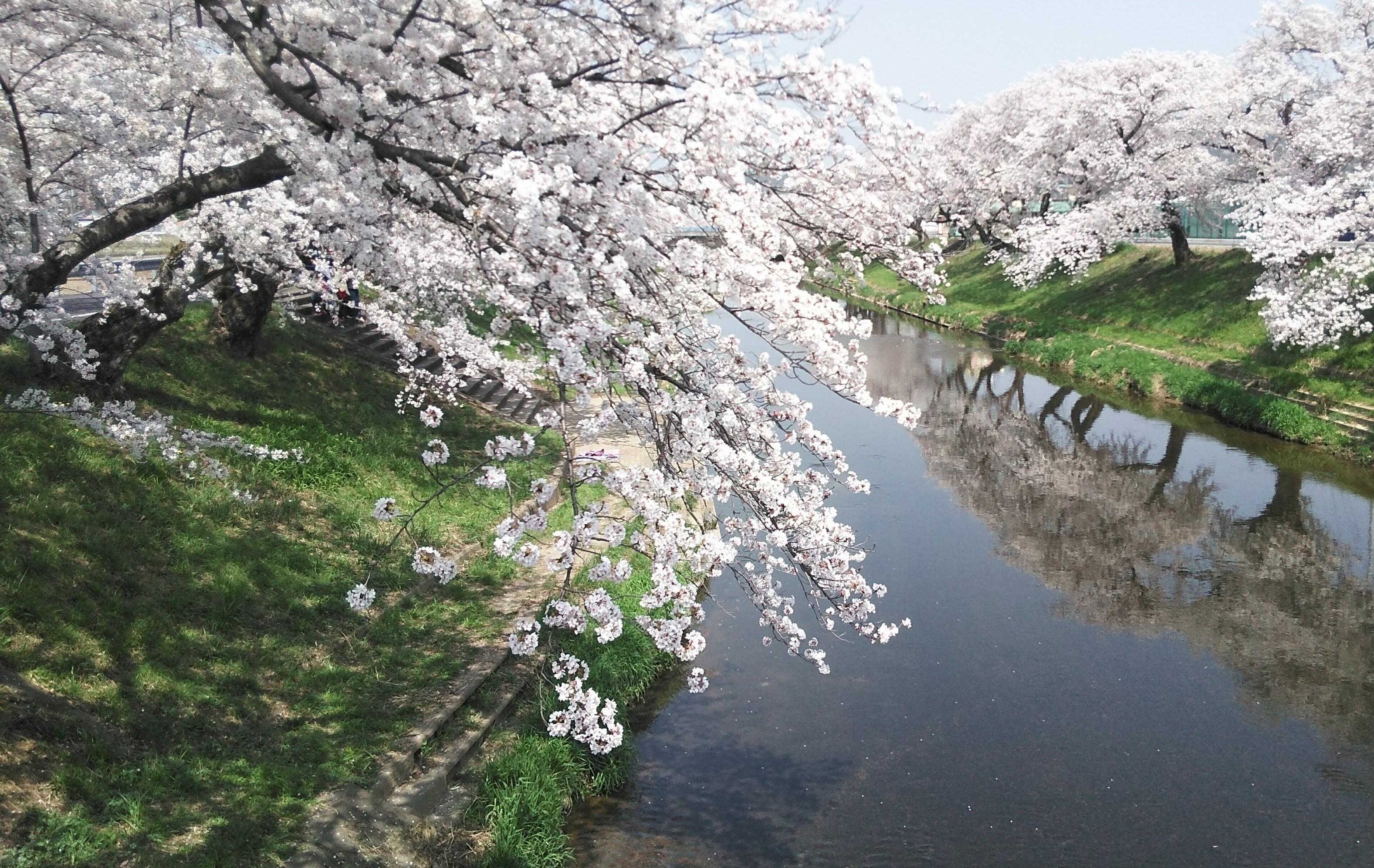 sakura_2021030506123117d.jpg