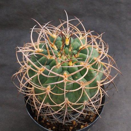 210727--DSC_0840--catamarcense fa belenense--KH 316--west Andalgala CAT--Piltz seed 4939(2013)-