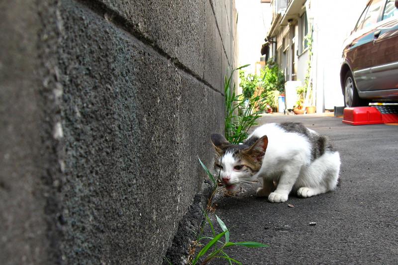 草を食べてる白キジ猫1