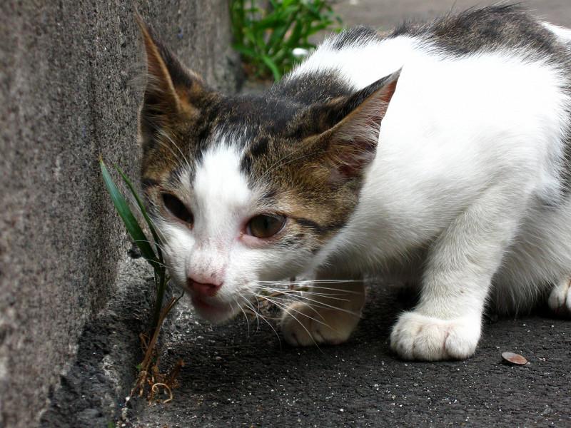 草を食べてる白キジ猫2