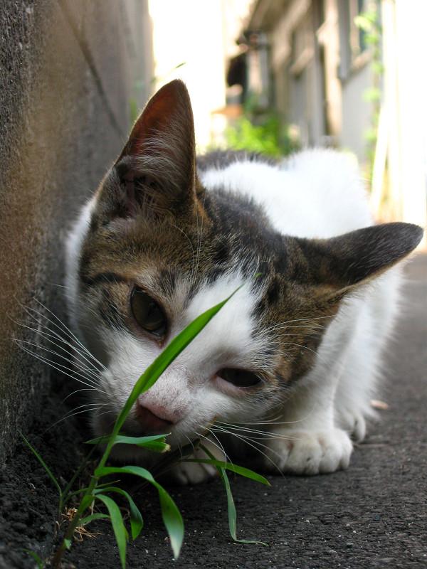 草を食べてる白キジ猫3