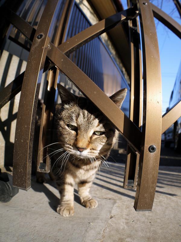 輝く門扉とキジトラ猫1