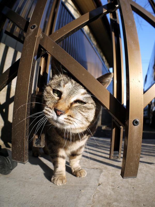輝く門扉とキジトラ猫2