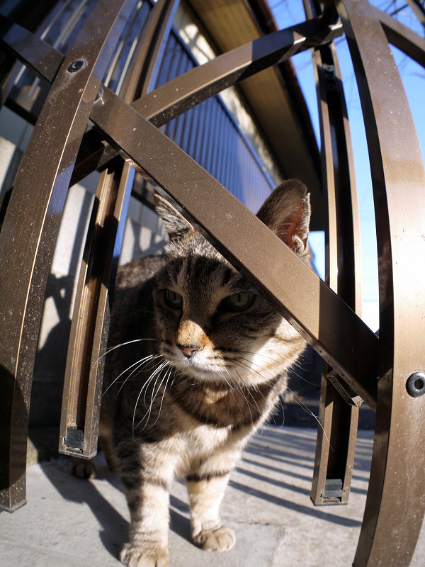 輝く門扉とキジトラ猫3