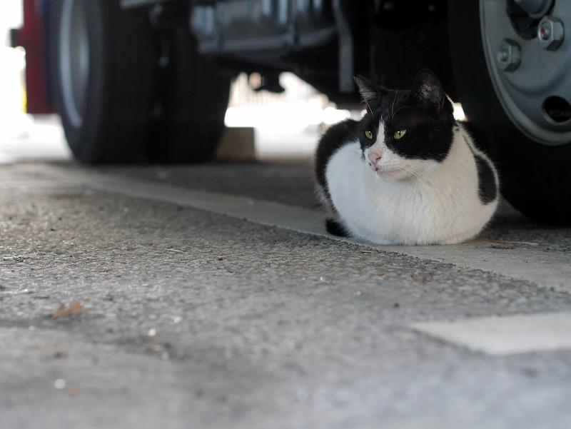 タイヤの横で香箱座りの黒白猫1