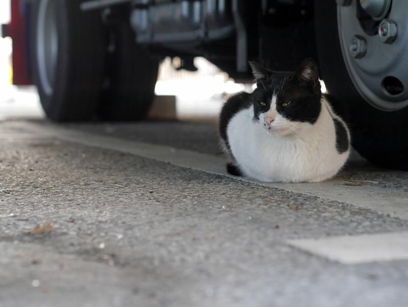 タイヤの横で香箱座りの黒白猫2
