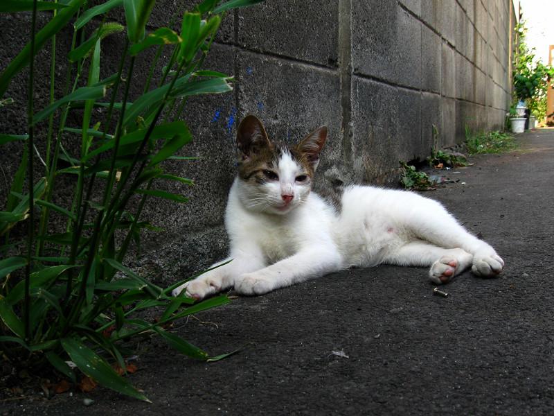 腹ばって草を喰う白キジ猫1