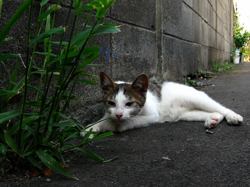 腹ばって草を喰う白キジ猫2