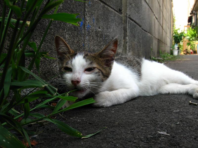 腹ばって草を喰う白キジ猫3