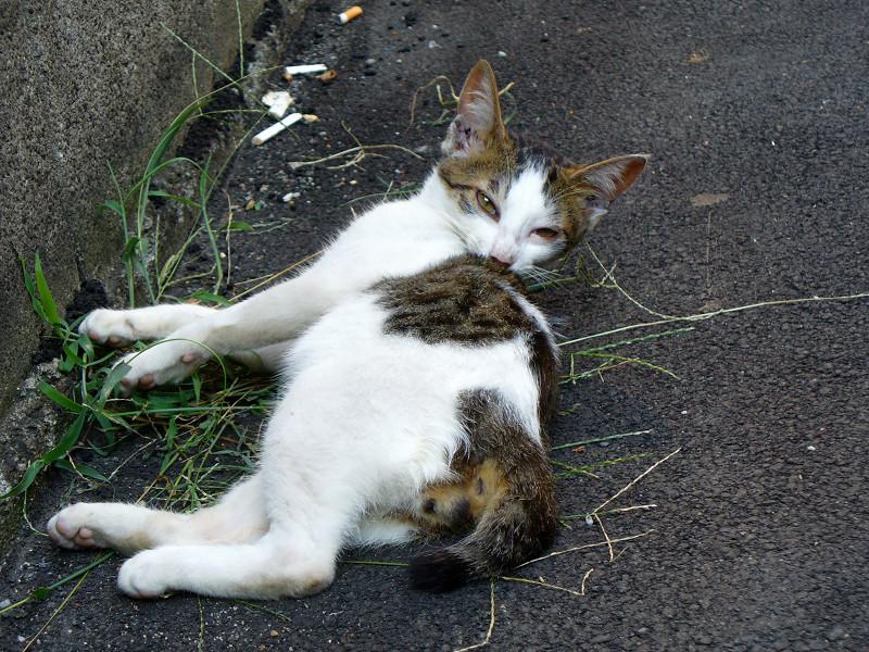 背中を舐める白キジ猫1