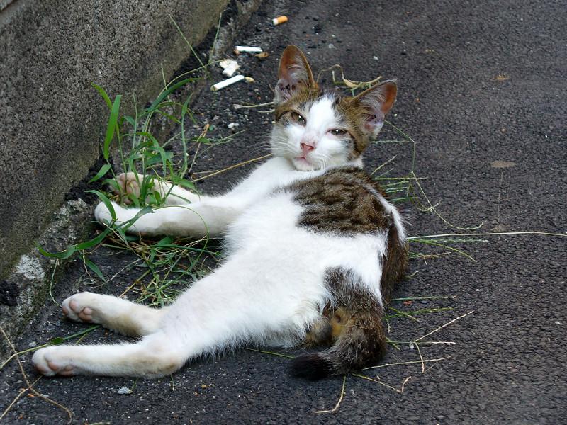 背中を舐める白キジ猫3